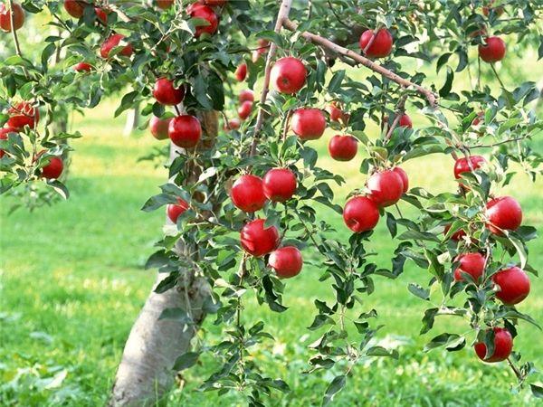 Mơ thấy cây táo là điềm báo lành hay dữ?