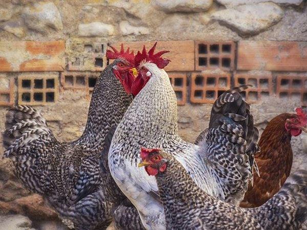 Mơ thấy gà là điềm báo gì, thử vận may với cặp số nào?