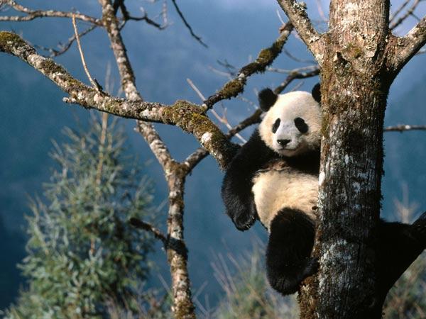 Nằm mộng thấy con gấu trúc đang ăn lá tre